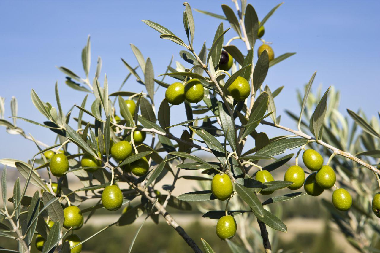 La escasez de aceite de oliva hace crecer las importaciones a Túnez