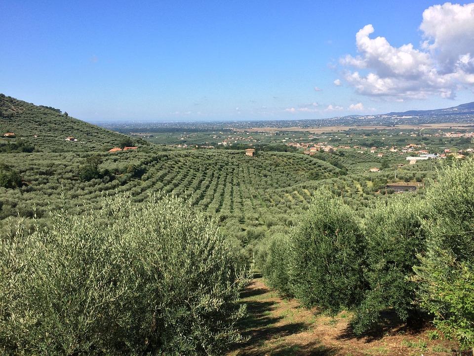 España producirá el 50% del aceite de oliva del mundo durante esta campaña