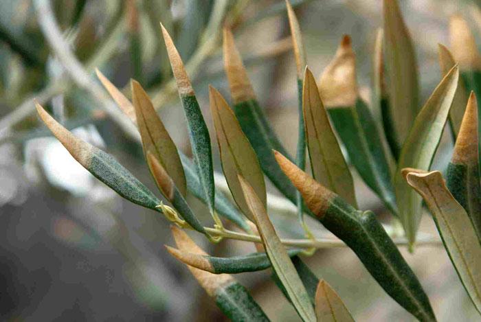 Salvar a los olivos de la 'Xylella fastidiosa' es posible utilizando drones