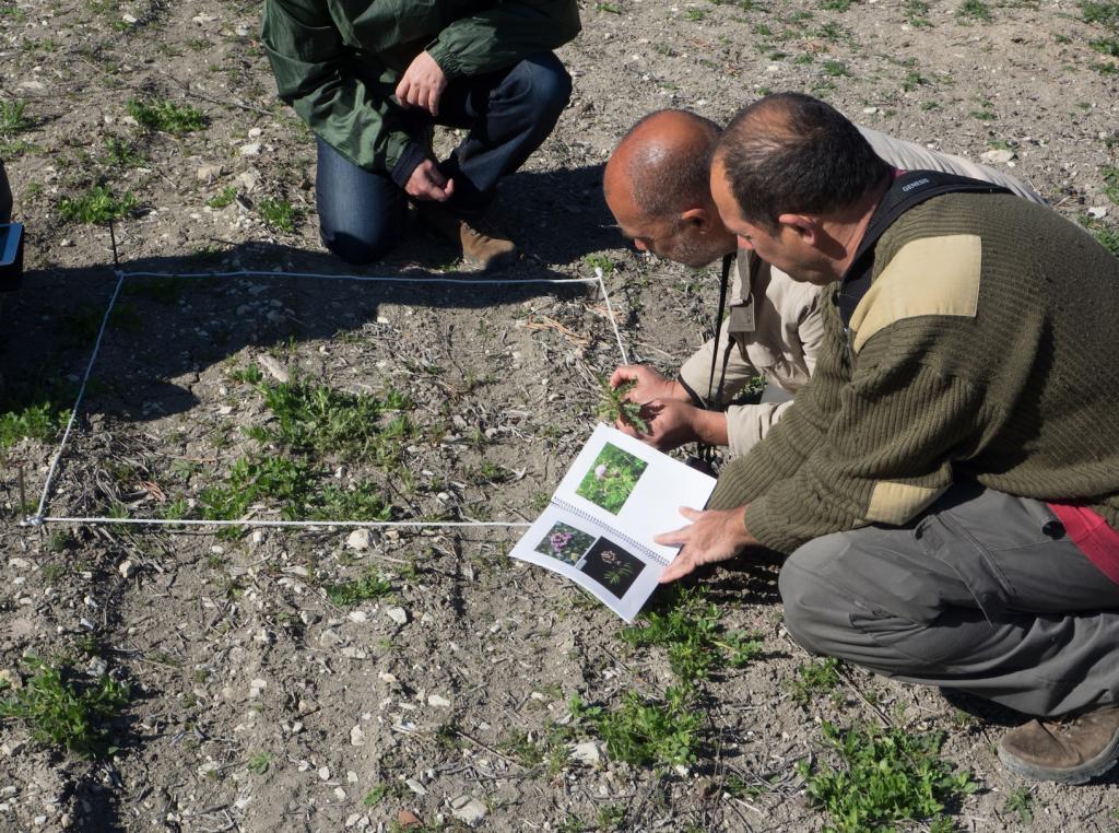 Hallan una nueva especie botánica en el olivar andaluz: la Linaria qartobensis