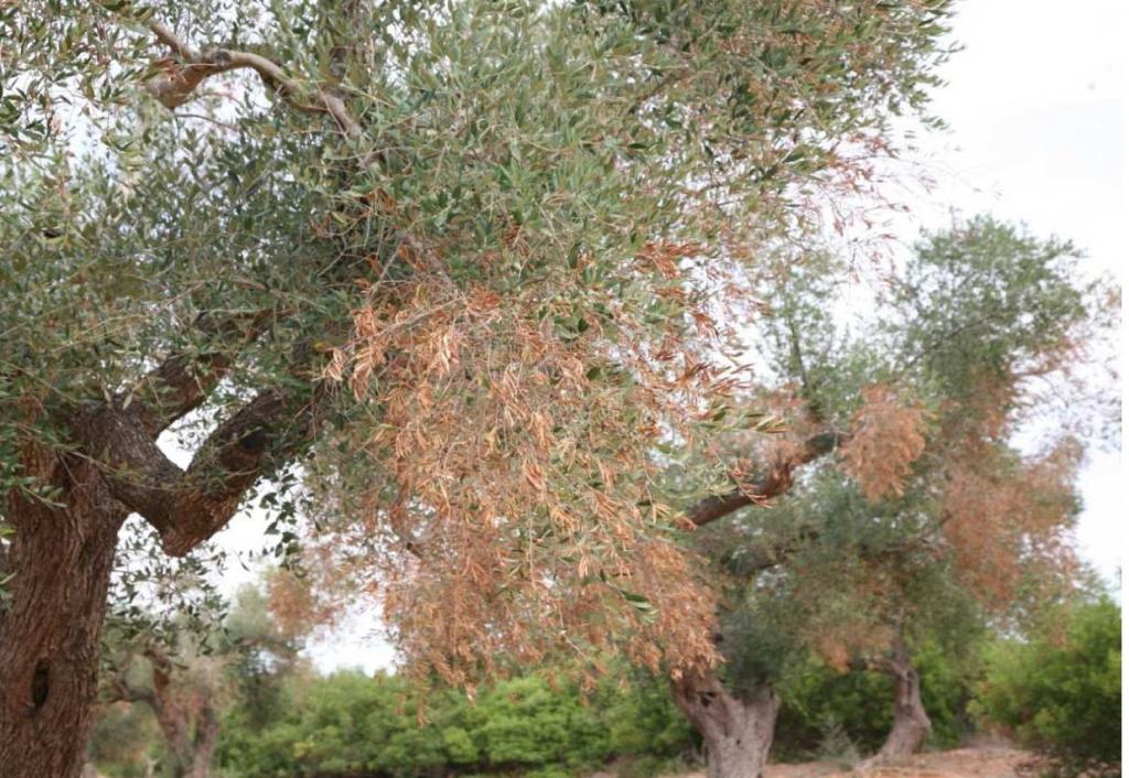 España apuesta por la investigación sobre la Xylella fastidiosa en el olivar