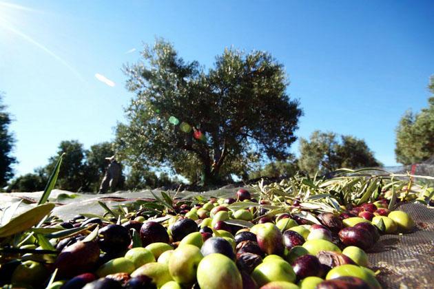 Más de 400 agricultores se dan cita en la XIV Jornada técnica del olivar de Asaja en Córdoba