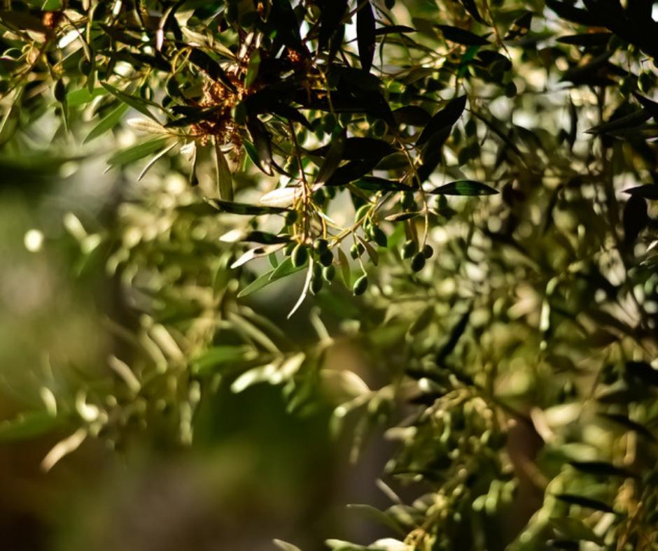 El olivar ecológico, un cultivo clave para combatir el cambio climático